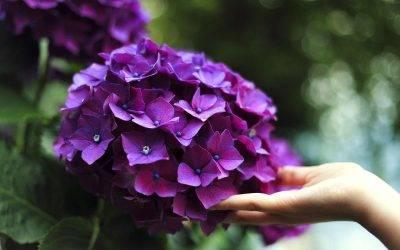 3 consejos que debes saber de las Hortensias